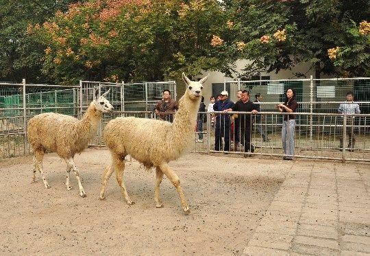 安庆市动物园引进两只羊驼
