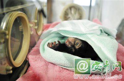 合肥野生动物园黑猩猩家族添新丁