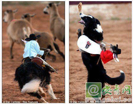 图 猴子骑狗赶羊群