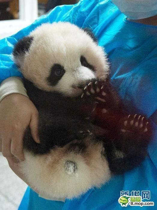 熊猫幼崽集体亮相 各种卖萌